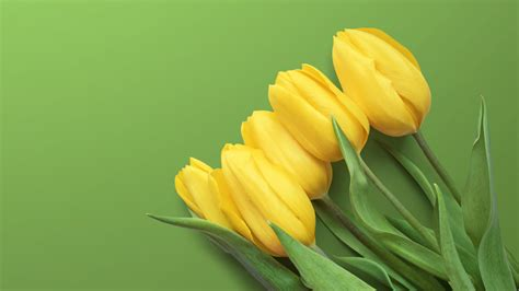 Yellow Tulips 4K Wallpapers | Wallpapers HD