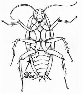 40  Best Collections Cockroach Drawing Easy