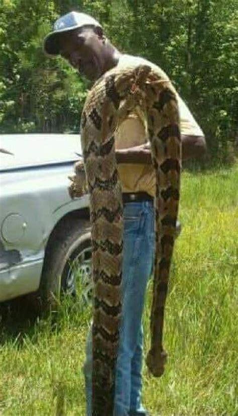 snake mississippi utica rattlesnake killed huge rattle kills wlbt had side newscast take