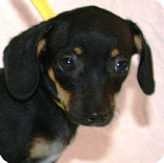 Rat Terrier Mix Shedding by Dachshund Rat Terrier Mix Puppy For Adoption In Gilbert