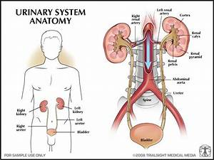 Introduction To Anatomy Of Urinary System
