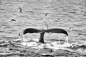 Humpback Fluke 1 Black And White Whale by Brandi Fitzgerald