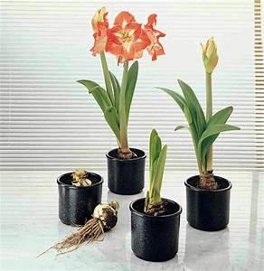 Amaryllis Zum Blühen Bringen : so pflegen sie die wundersch ne amaryllis im topf rund ums ~ Lizthompson.info Haus und Dekorationen