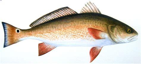 drum fish eating fishing captivafishing