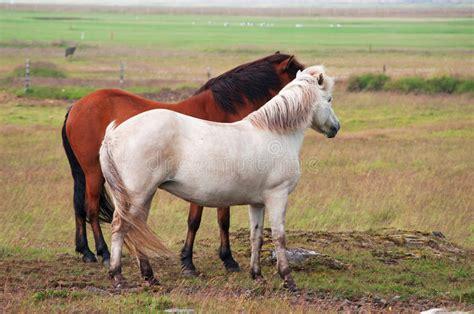 icelandic horses iceland northern europe horse wildlife wild landscape animals nature ocean holiday