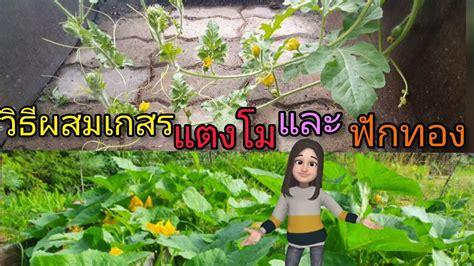 วิธีผสมเกสรดอกแตงโมและฟักทอง#หนูนา พาเพลิน🇹🇭 ️🇫🇮 - YouTube