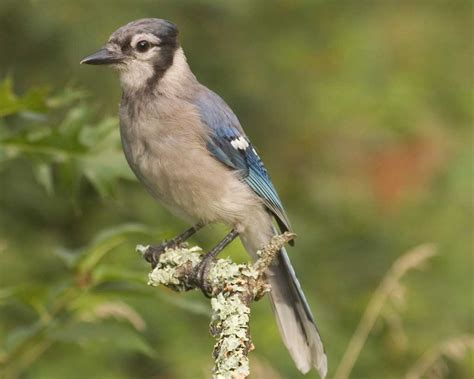 blue jay audubon field guide
