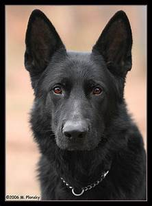 124 best images about Black GERMAN Shepherd on Pinterest ...