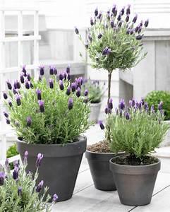 Lavendel Pflanzen Im Topf : lavendel wirkung und einsatzbereiche wissenswertes und tipps ~ Frokenaadalensverden.com Haus und Dekorationen