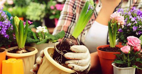 culture des jacinthes en pot la culture des jacinthes forc 233 es le d initiatives