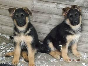 Tan German Shepherd Puppies | www.imgkid.com - The Image ...