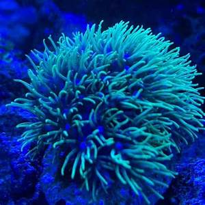 Green Star Polyps Care  Gsp Coral Guide