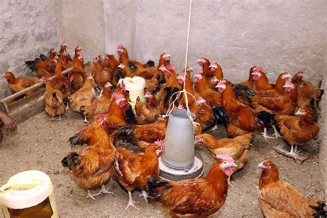 Tanzania's Poultry Farmers Seek Import Ban For Fair Trade