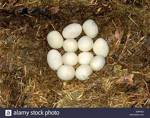 Grass Snake Eggs - Natrix natrix Stock Photo: 74868782 - Alamy