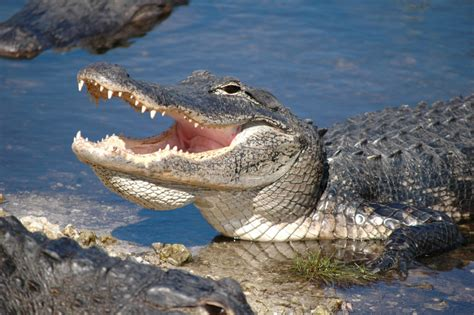 Everglades Boat Tours Alligators by Everglades Airboat Adventure With Transportation