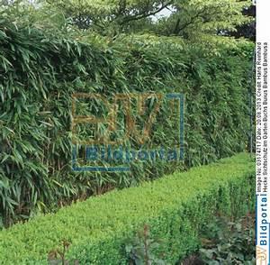 Hecke Als Sichtschutz : bambus hecke bambus pflanzenshop bambus als gr ner ~ Michelbontemps.com Haus und Dekorationen