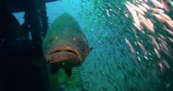 grouper goliath florida height