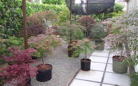 best japanese maples for containers top 28 best japanese maples for containers gap gardens spectacular japanese maples growing