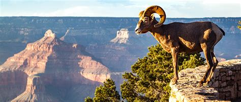 zion national park requests comments  bighorn sheep