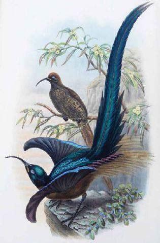 drawn  paradise  natural history art  discovery   birds  paradise  rare