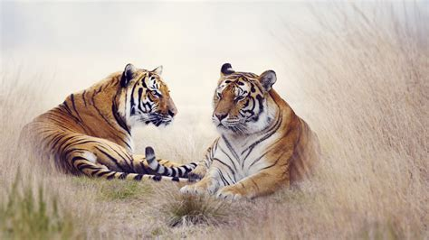 tiger pair  wallpapers hd wallpapers id