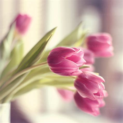 beautiful tulips pictures   images  facebook