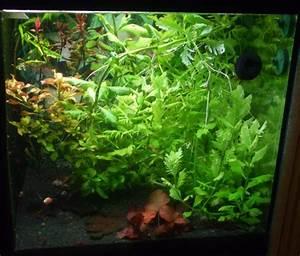 Welchen Dünger Für Aquarienpflanzen : aquarienpflanzen f r zwerggarnelen artikel von experten ~ Michelbontemps.com Haus und Dekorationen