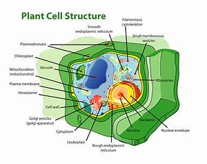 File Plant Cell Structure Edit Png