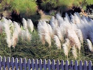 Winterharte Gräser Garten : pampasgras gr ser im garten ~ Michelbontemps.com Haus und Dekorationen