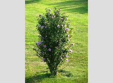 Rose of Sharon Bush Rose, Gardens and Landscaping
