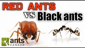Who Wins  Red Ants Vs Black Ants