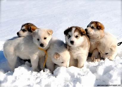 Husky Puppies Siberian Puppy