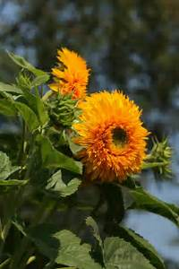 Sunflower Goldy Double - Flower Seed