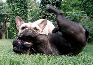 Hundebekleidung Französische Bulldogge : franz bulldogge charakter ~ Frokenaadalensverden.com Haus und Dekorationen