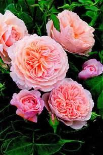 Most Fragrant David Austin English Roses