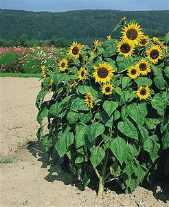 Helianthus annuus, Holiday, Annual | Benary