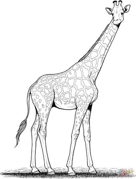 disegno  la giraffa da colorare disegni da colorare