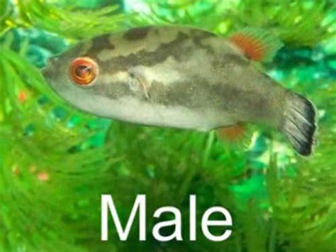 red eye puffer fish care size lifespan tankmates