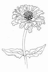 Zinnia Flower Drawing Flickr Zinnias Drawings Flowers Doodle Coloring Outline Draw Tattoo Elegans Welch Corinne Watercolor Ink Easy Field Sketches sketch template