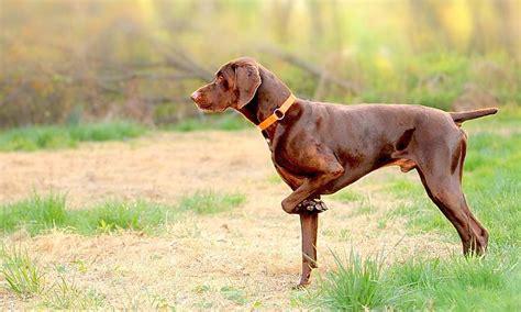 Suņu šķirnes daudz - Spoki - bildes 14