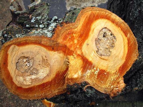 Welches Holz Passt Zu Kirschbaum by Welches Holz Passt Zu Kirschbaum Welches Holz Passt Zu