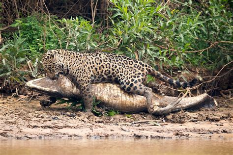 In Photos: A Jaguar Takes Down a Caiman in Brazil   Live ...