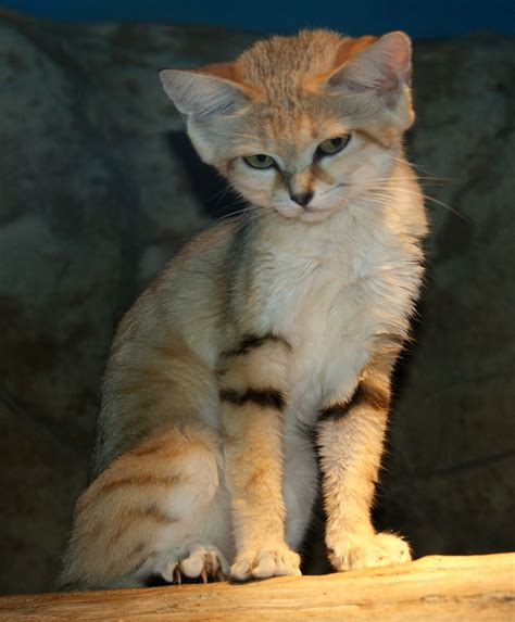 sand cats cat wild kittens animals cute endangered species rare african dune wikipedia deserts