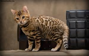 history of domestic cats bengal cat facts pictures information rescue