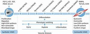 Phenotypic Modulation Of Vascular Smooth Muscle Cells
