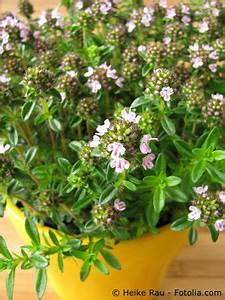 Frisches Bohnenkraut Einfrieren : bohnenkraut pflege pflanzen d ngen schnitt ~ Lizthompson.info Haus und Dekorationen