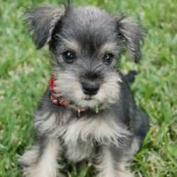 Baby Puppy Schnauzer