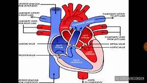 Diagram Of Blood Flow