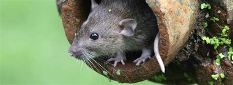 rid  rats targeted rentokil treatments