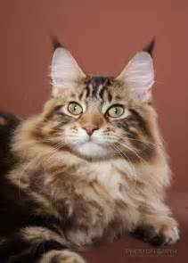coon cat the maine coon cat petsmaniac